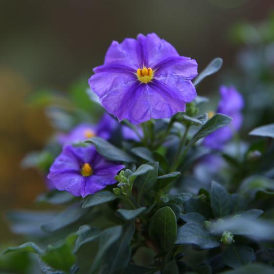 Enzian-Stämmchen,  azurblau | #2