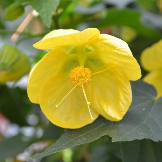Schönmalven-Stamm XL, gelb, ca. 19cm-Topf | #2