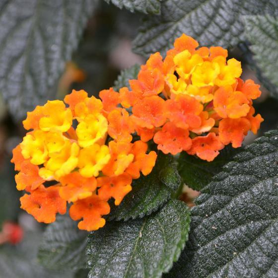 Wandelröschen Busch, orange, im ca. 19 cm-Topf | #2