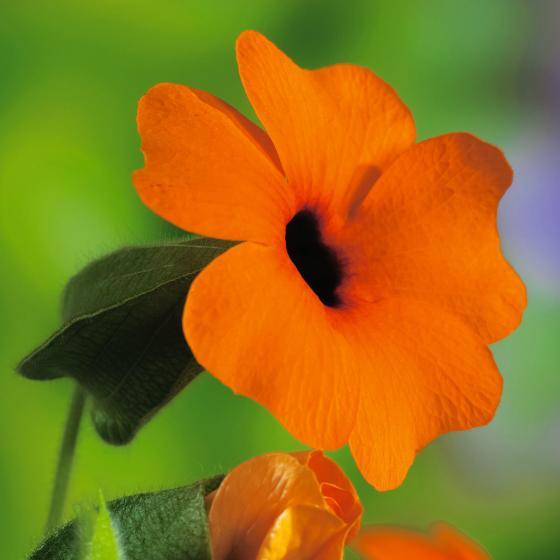 Schwarzäugige Susanne, orange, im ca. 17 cm-Topf | #2