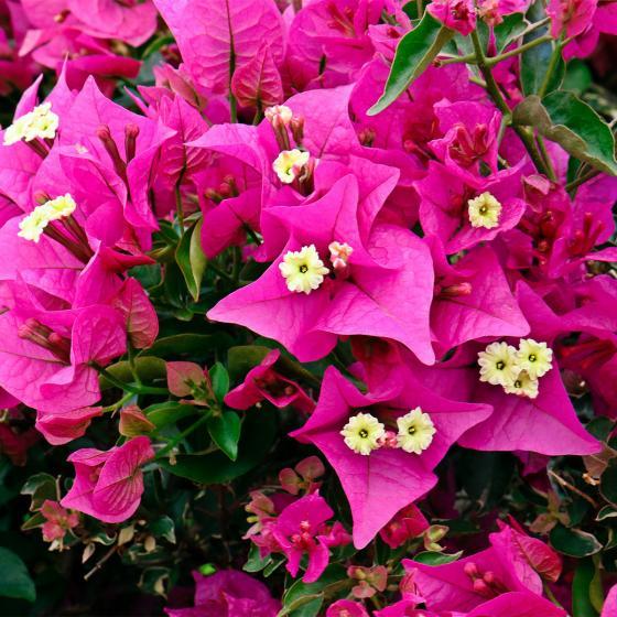 Wunderblumen-Stamm, im ca. 19 cm-Topf | #2