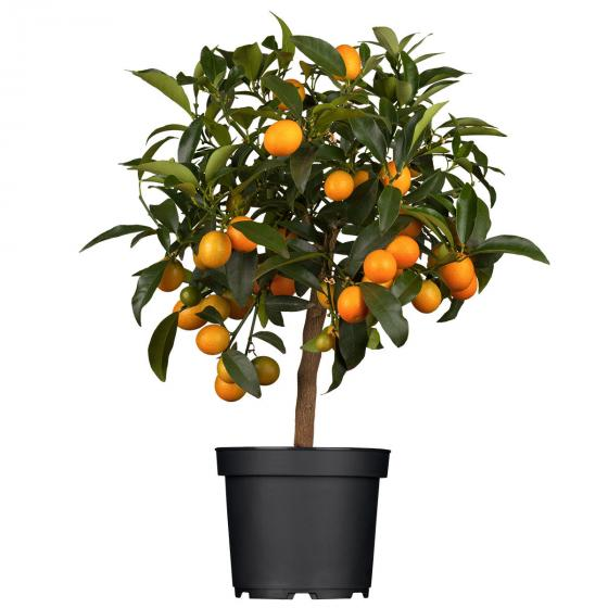 Calamondin-Orangen-Stämmchen, groß | #2