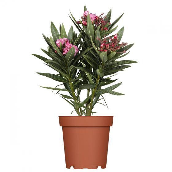 Oleander Busch, rot, XL-Qualität | #2