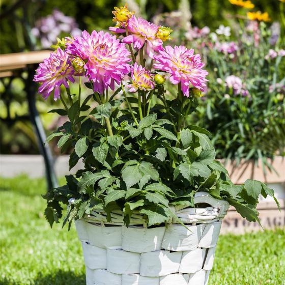 Gärtner Pötschkes lila-weiße Dahlie, 19cm-Topf | #2