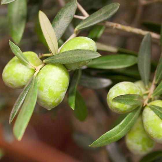 Oliven-Baum XXL | #2