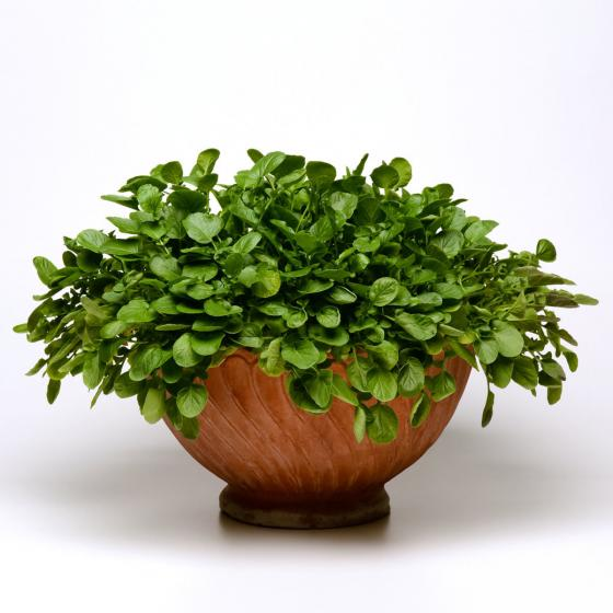 Landkressesamen Simply Salad Cress, Multi-Pellets | #2