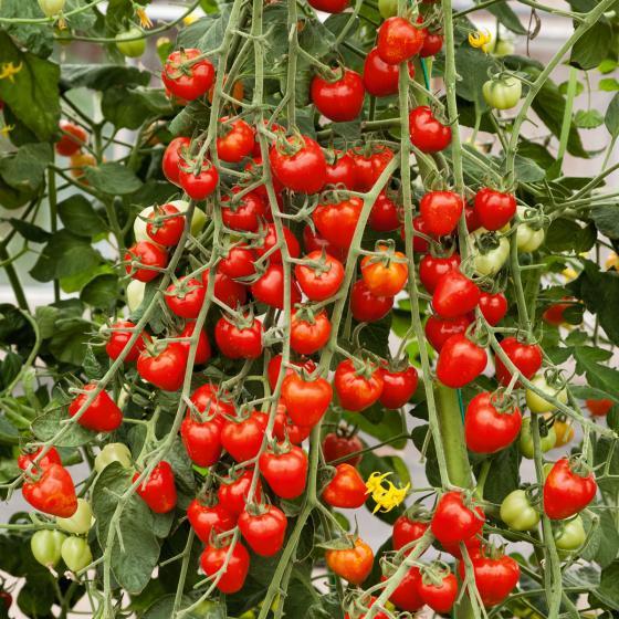 Tomatensamen Jahodo | #2