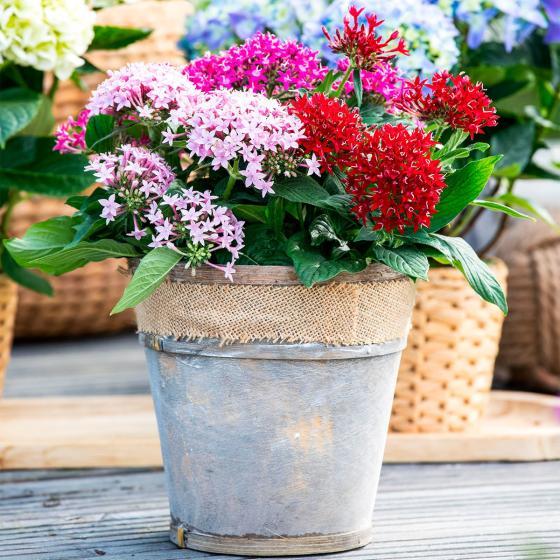 Sommerblumen-Sortiment Pentas, 3 Stück, im jeweils ca. 12 cm-Topf | #2