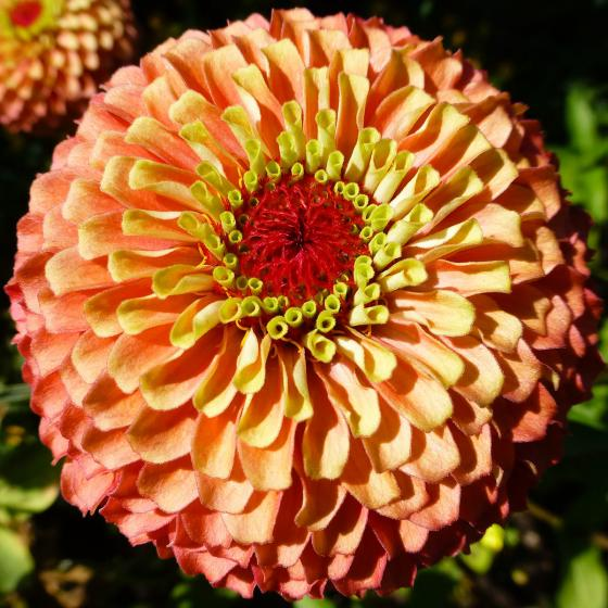 Zinniensamen Queeny Lime Orange | #2