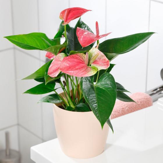Rosa Flamingoblume, im ca. 12 cm-Topf | #2