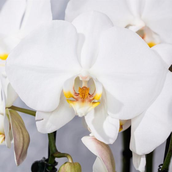 "Schmetterlings-Orchidee ""Grandiflora"" 