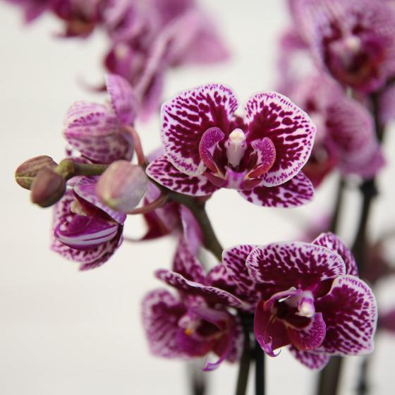 Schmetterlings-Orchidee Champion Swan inklusive Über- und Wasserspeichertopf | #2