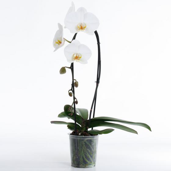 Weiße Schmetterlings-Orchidee Cascade | #2