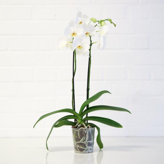 Schmetterlings-Orchidee weiß inklusive Über- und Wasserspeichertopf | #2