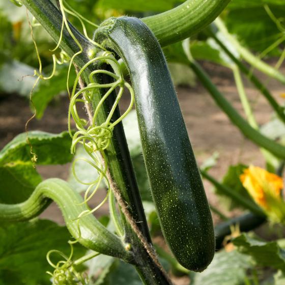 Kletter-Zucchinipflanze Alando, im ca. 11 cm-Topf | #2