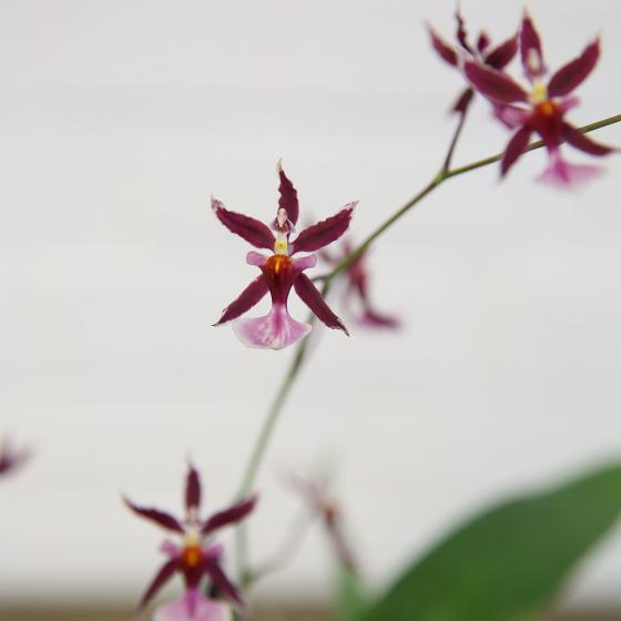 Orchidee Oncidium Katrin Zoch | #2