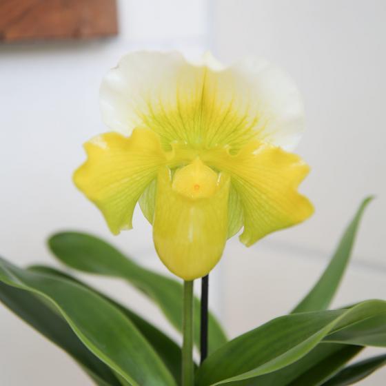 Frauenschuh, gelb | #2