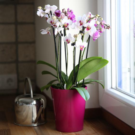 Schmetterlings- Orchidee Twin, im ca. 12 cm-Topf | #2