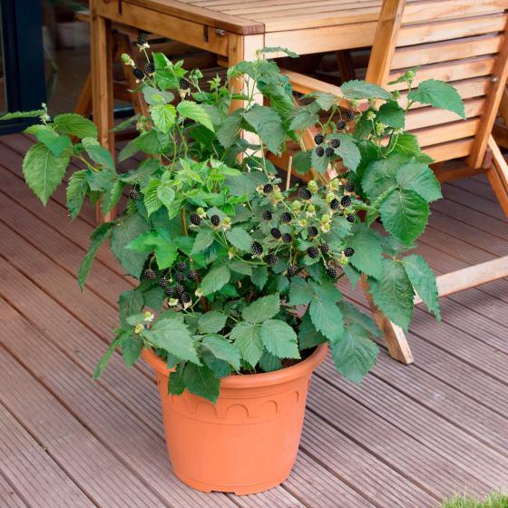 Zwerg-Brombeere Lowberry® Little Black Prince®, im ca. 17 cm-Topf | #2
