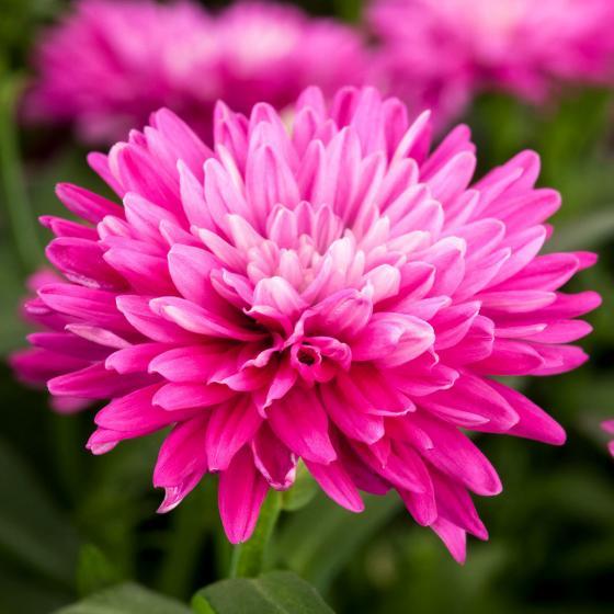 Herbstaster, rosa, im ca. 13 cm-Topf | #2