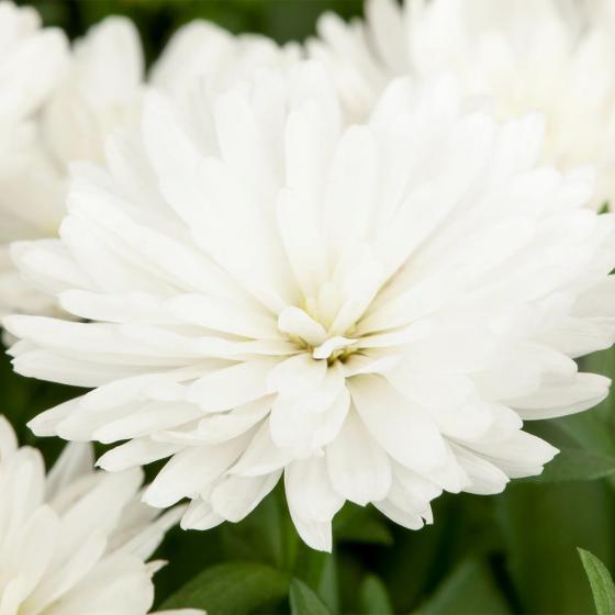 Herbstaster, weiß, im ca. 13 cm-Topf | #2