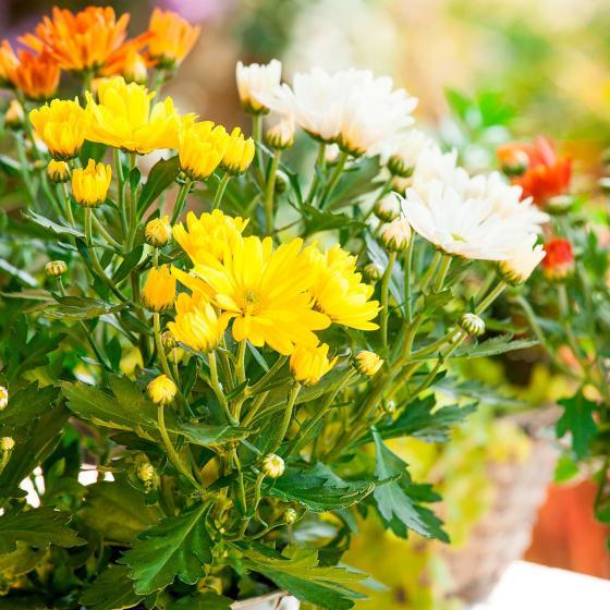 Chrysantheme Rock n Roll, 3-farbig   #2