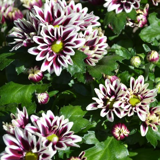 Violette Chrysantheme Melodie Ciao   #2