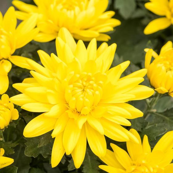 Herbst-Chrysantheme, gelb, im ca. 11 cm-Topf | #2