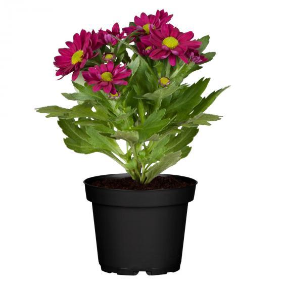 Herbst-Chrysantheme, violett | #2