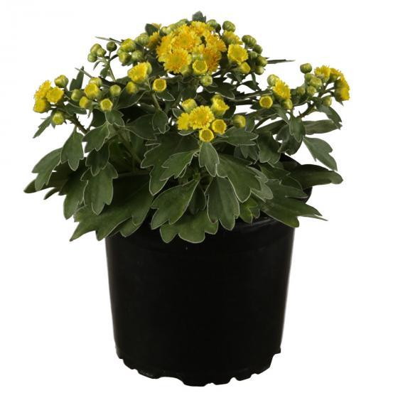 Silberrand-Chrysantheme, im ca. 12 cm-Topf | #2