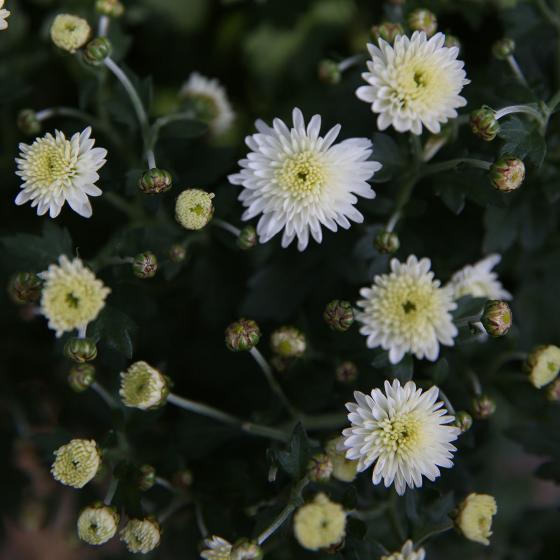 Herbst-Chrysantheme, Busch, weiß | #2