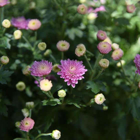 Herbst-Chrysantheme, Busch, violett | #2