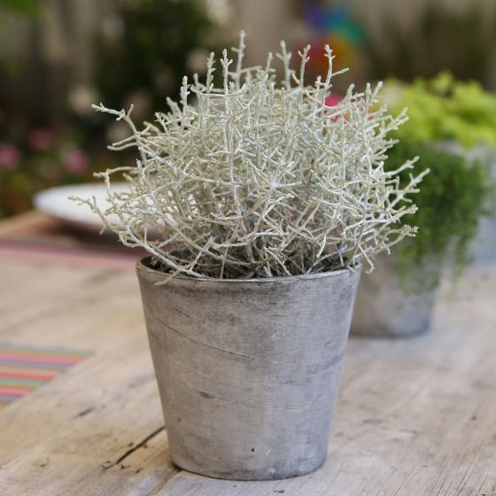 Stacheldrahtpflanze, im ca. 11 cm-Topf | #2