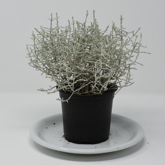 Stacheldrahtpflanze | #2