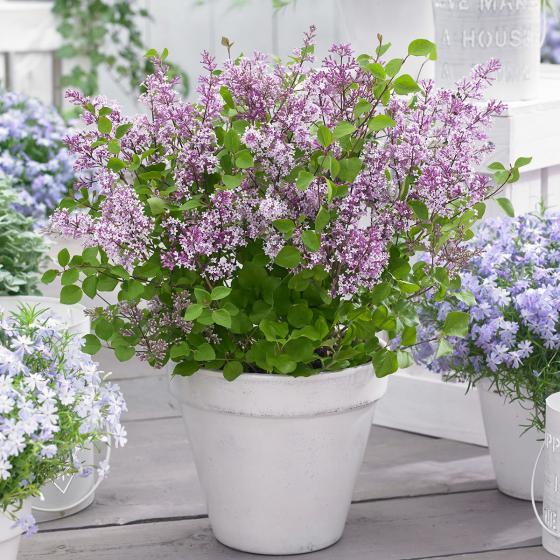 Sortiment Zwerg-Duftflieder Flowerfesta®, im ca. 19 cm-Topf | #2