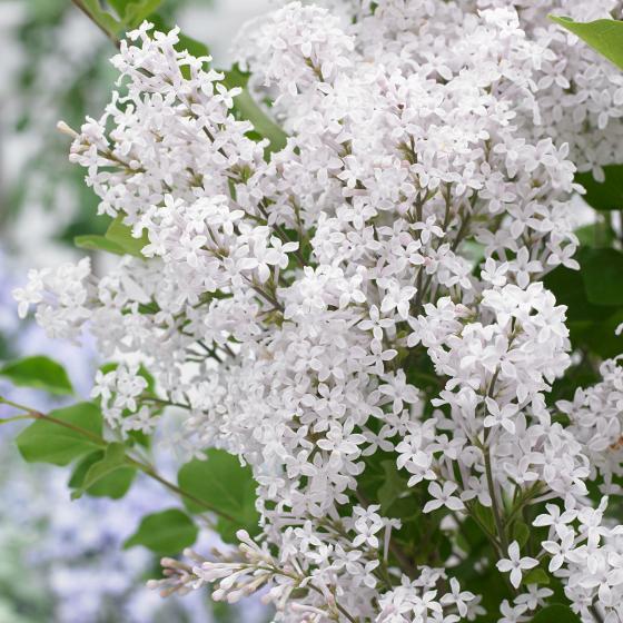 Zwerg Duftflieder Flowerfesta®  White, im ca. 19 cm-Topf | #2