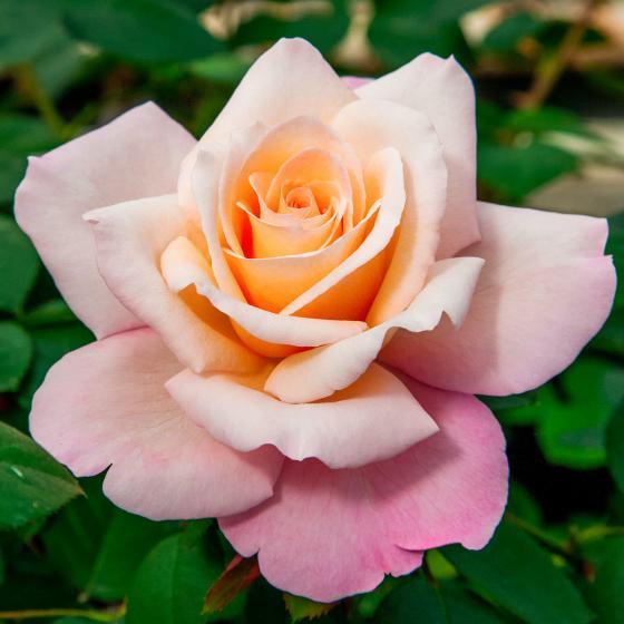Edelrose Laetitia Casta®, im ca. 17 cm-Einpflanztopf | #2