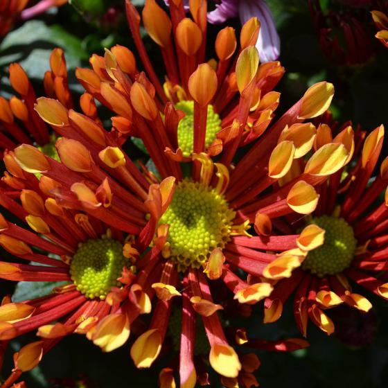 Orange Chrysantheme Melodie Splash Energie   #2