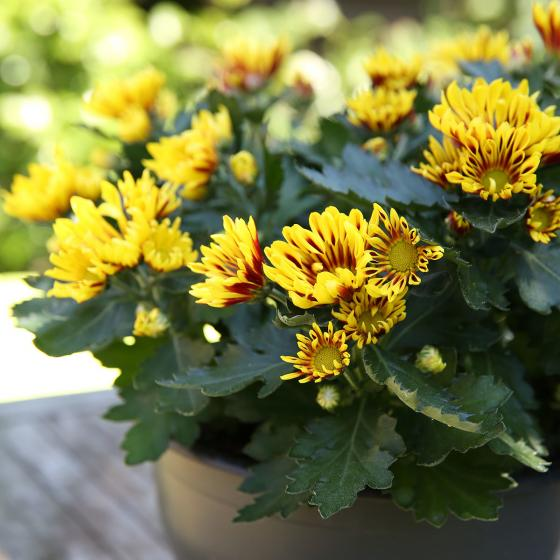 Gelbe Chrysantheme Melodie Sawadee Schale | #2