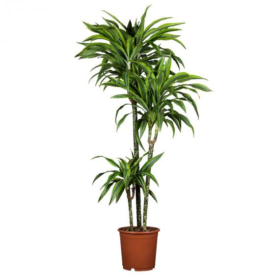 Drachenbaum Fragans, 3er Tuff, im ca. 21 cm-Topf | #2