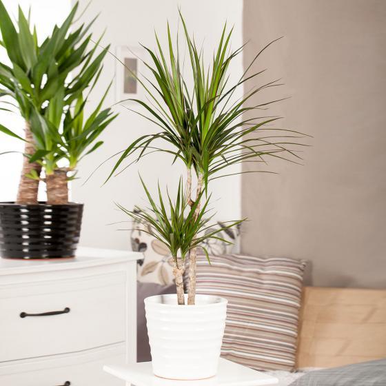 Drachenbaum Marginata, 2er Tuff, im ca. 17 cm-Topf | #2