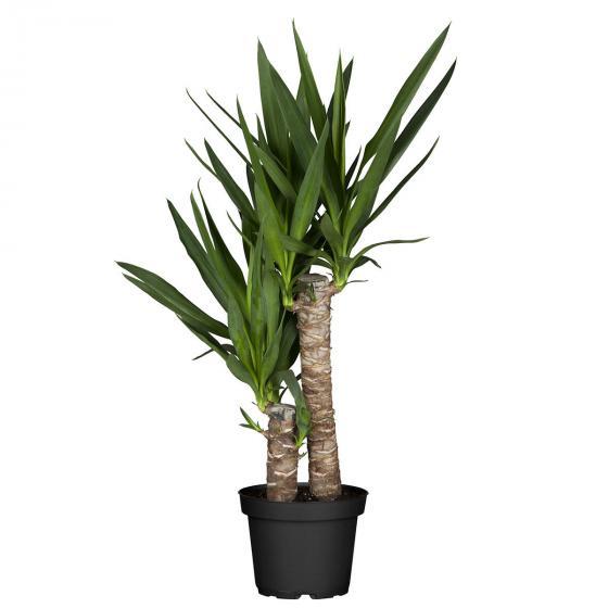 Riesen-Palmlilie, 2er Tuff, im ca. 17 cm-Topf | #2