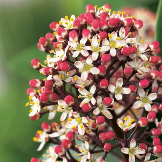 Japanische Blütenskimmie Rubella, im ca. 13 cm-Topf | #2