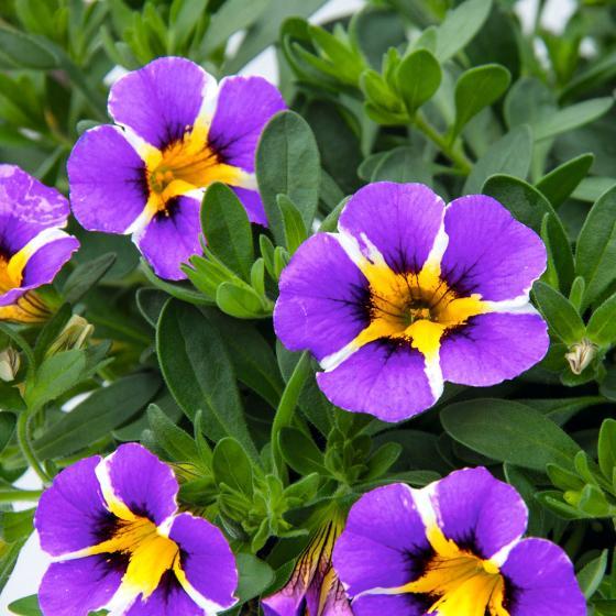 Gesterntes Zauberglöckchen Rave Violett | #2