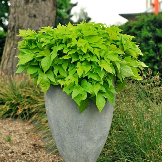 Kiwigrüne Blattschmuck-Ipomoea, im ca. 12 cm-Topf | #2