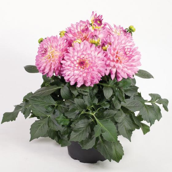 Rosa-weiße Topf-Dahlie, 12cm-Topf | #2