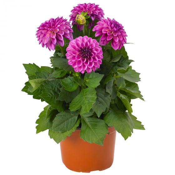 Violette Topf-Dahlie, 12cm-Topf | #2