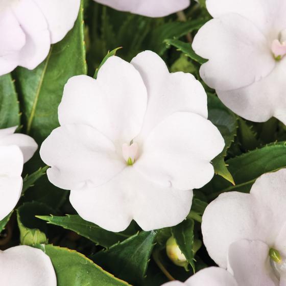 Fleißiges-Lieschen Sunpation White | #2