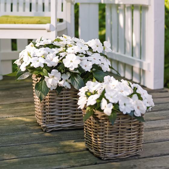 Fleißiges-Lieschen Sunpation White, im ca. 12 cm-Topf | #2