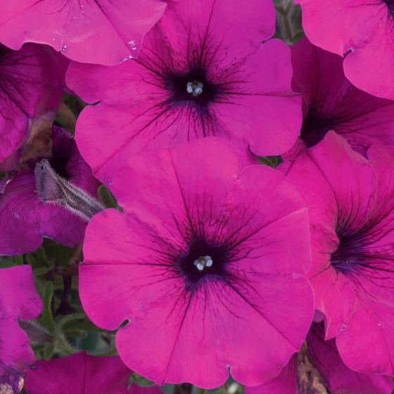 Sommerblumen-Sortiment Riesen-Petunien, pink-weiß, 6 Stück | #2